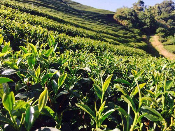 杉林溪高山茶,高山茶,黃金甘露茶5