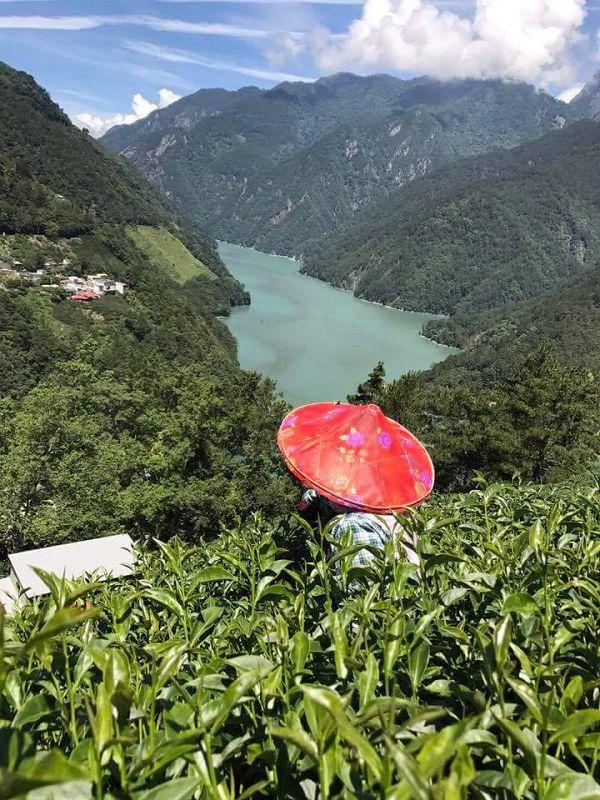 杉林溪高山茶,高山茶,黃金甘露茶8