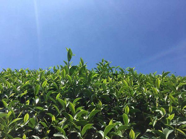 杉林溪高山茶,高山茶,黃金甘露茶9