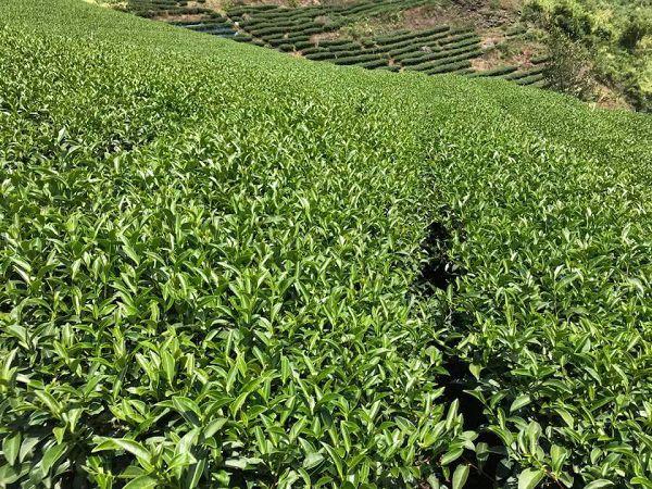 杉林溪高山茶,高山茶,黃金甘露茶11