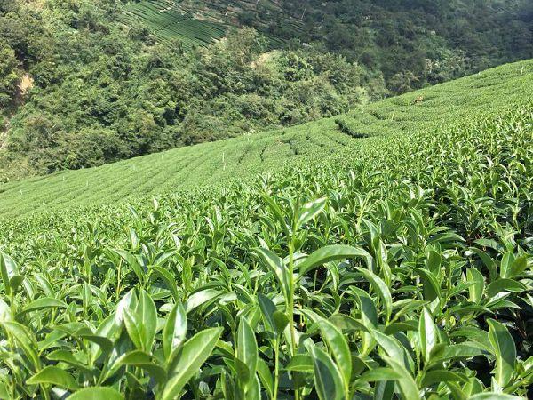 杉林溪高山茶,高山茶,黃金甘露茶15