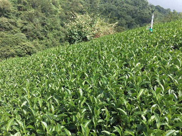 杉林溪高山茶,高山茶,黃金甘露茶16