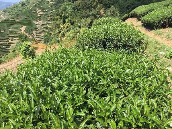 杉林溪高山茶,高山茶,黃金甘露茶19