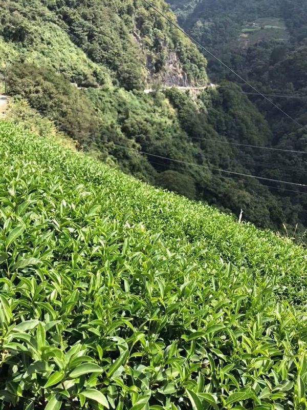 杉林溪高山茶,高山茶,黃金甘露茶20