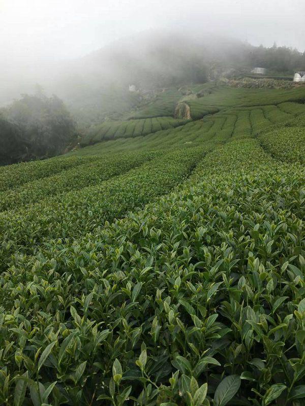 杉林溪高山茶,高山茶,黃金甘露茶21
