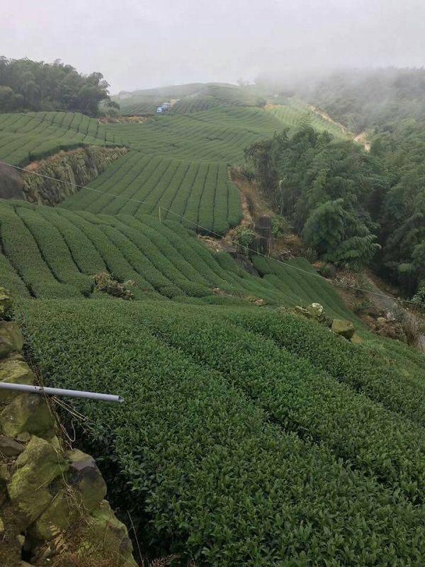 杉林溪高山茶,高山茶,黃金甘露茶22
