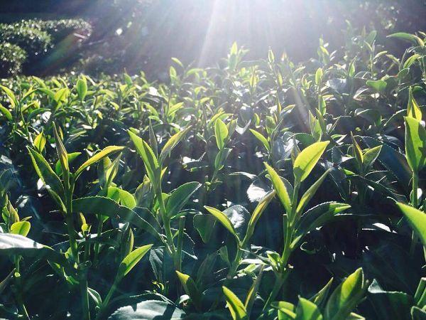 黃金甘露茶,杉林溪高山茶