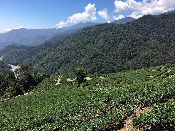 黃金甘露茶,杉林溪高山茶3