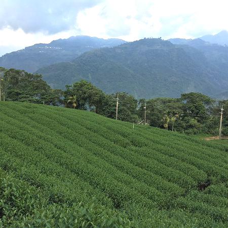 黃金甘露茶,春茶,杉林溪高山茶3