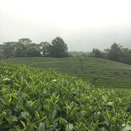 黃金甘露茶,春茶,杉林溪高山茶6
