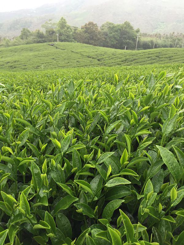 黃金甘露茶,春茶,杉林溪高山茶8