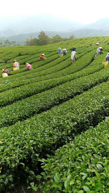 黃金甘露茶,春茶,杉林溪高山茶9