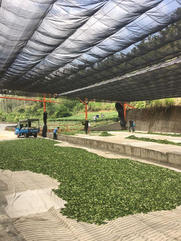 黃金甘露茶,春茶,杉林溪高山茶10