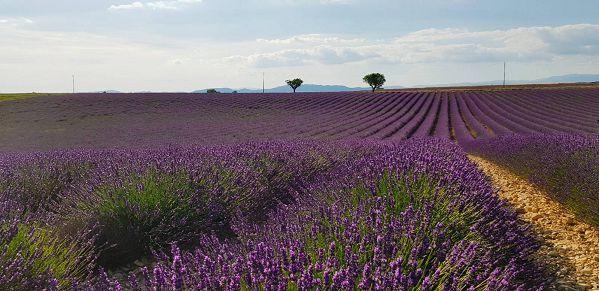 南法薰衣草1