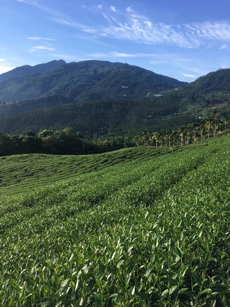 杉林溪高山茶,2019冬茶