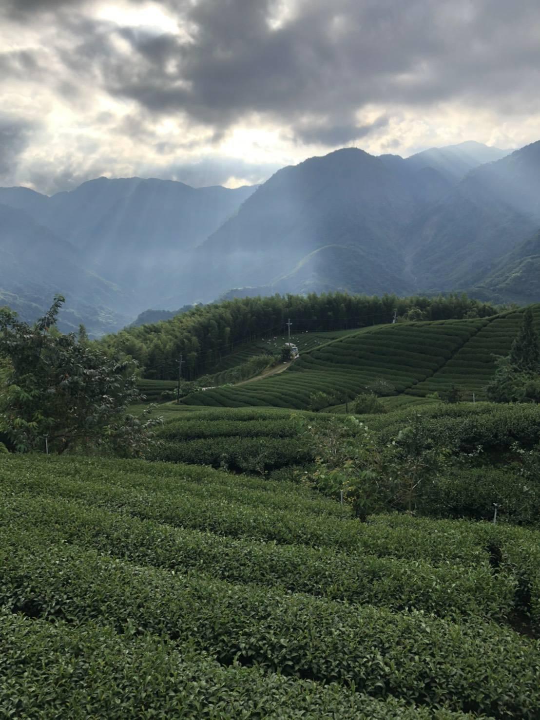 杉林溪高山茶,高山茶,台灣高山茶
