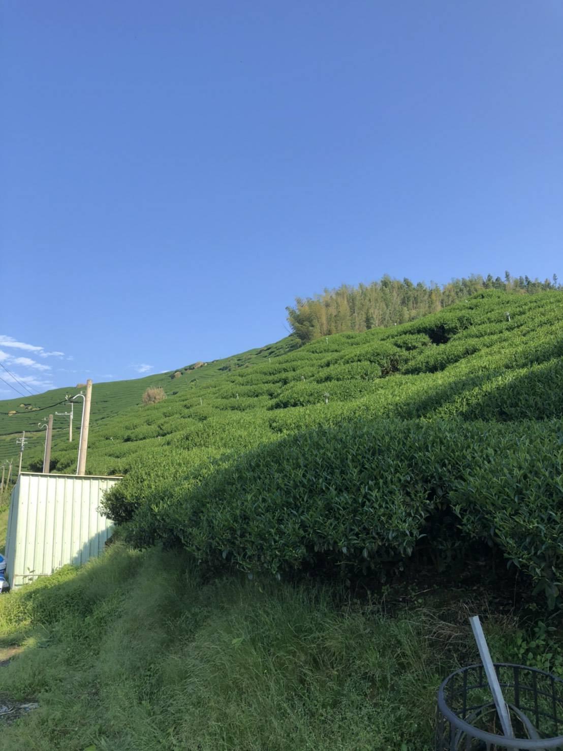 杉林溪高山茶,高山茶,台灣高山茶1