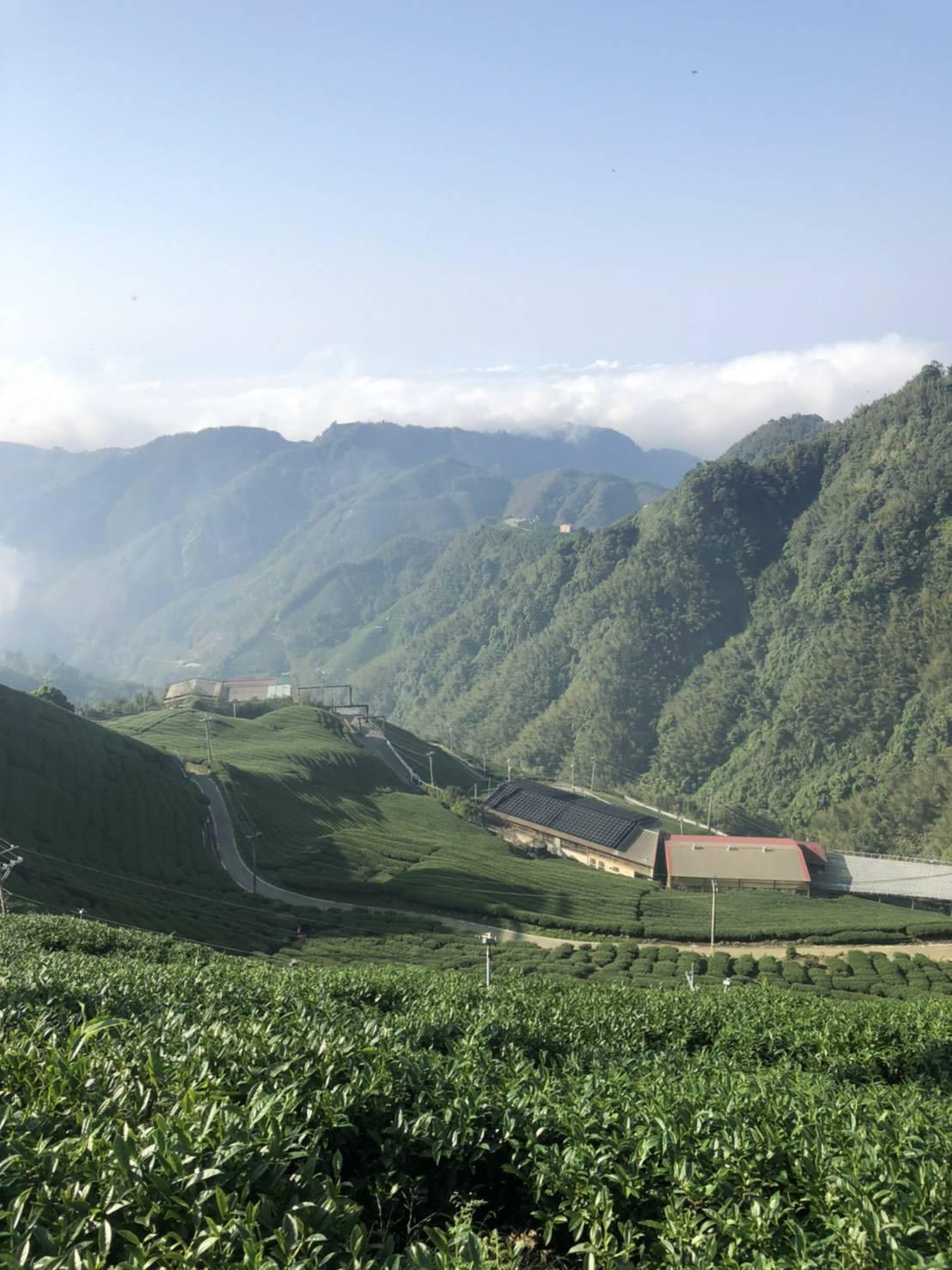 杉林溪高山茶,高山茶,台灣高山茶2